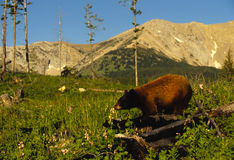 Black Bear and Mountain Landscape Royalty Free Stock Photo