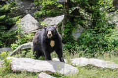 Black Bear Mountains North Carolina. Surprised black bear in a wooded area of Grandfather Mountain in Tennessee Stock Images