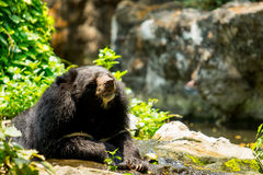 Black bear. In the nature Stock Images