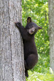 Black bear not sure how to climb down. From tree Stock Image