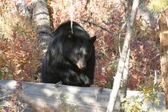 black bear np Yellowstone Obrazy Royalty Free