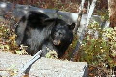 black bear np Yellowstone Zdjęcie Stock