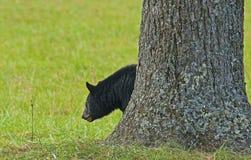 A Black Bear partially hidden behind a tree. Royalty Free Stock Photography
