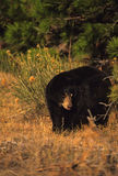 Black Bear in Pines Royalty Free Stock Photo