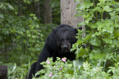 Black Bear in Pink Flowers Royalty Free Stock Photo