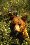 Black Bear Portrait. A close up portrait of a young chocolate colored black bear in an oak Stock Photo