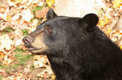 Black bear portrait Royalty Free Stock Photography