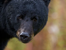 Black Bear. Portrait of a black bear Royalty Free Stock Photos
