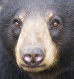 Black bear portrait Royalty Free Stock Images