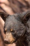 Black Bear Portrait Royalty Free Stock Image