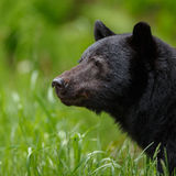 Black Bear. Portrait taken at Canada Royalty Free Stock Photo