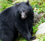 Black Bear Portrait,Vancouver Island, Canada Stock Photo