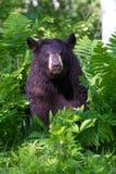 Black bear portrait in vertical photograph. In lush green ferns stock photos