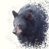Black Bear portrait watercolor painting. On white background stock photos