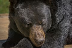 Black bear posing for a close-up Stock Images