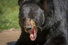 Black bear posing for a close-up Stock Photography