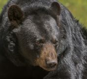 Black bear posing for a close-up Stock Photos