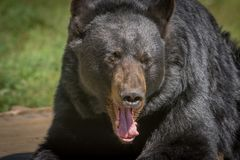 Black bear posing for a close-up Royalty Free Stock Image