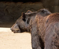 Black Bear Profile Stock Images