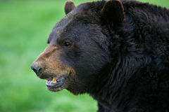 Black Bear profile Royalty Free Stock Photo
