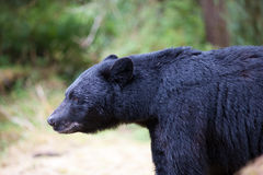 Black bear profile Royalty Free Stock Image