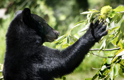 Black Bear Reaches for Chestnut. American BlackBear ( Ursus americanus) picking from a chestnut tree to eat Stock Photography