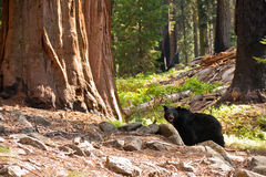 Black Bear in Redwood Forest royalty free stock image