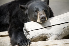 Black bear relaxing. A black bear laying around on a log Stock Image