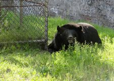 Black bear relaxing in chatver zoo chandigarh stock image