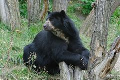 Black Bear Resting Royalty Free Stock Photography