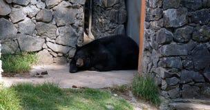 Black bear resting stock photos