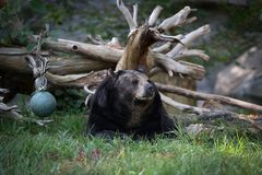 Black Bear Resting Royalty Free Stock Image