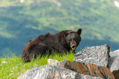 Black Bear. A Black bear resting in the grass in the Alaska Royalty Free Stock Image