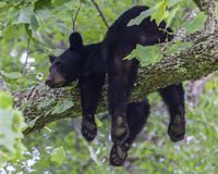 Black Bear. A black bear resting on a tree branch, Great Smoky Mountains National Park, TN, USA Stock Images