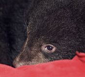Black Bear Rests on Red Royalty Free Stock Photos