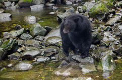 Black Bear in river,Vancouver Island, Canada Royalty Free Stock Photography