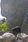 Black bear roams the wild. A black bear at Grandfather Mountain, near Boone, N.C royalty free stock photo