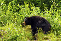 Black bear. Roaring black bear in the clearing Royalty Free Stock Photo