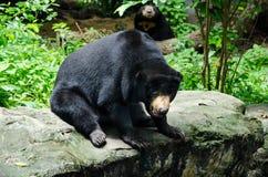 Black bear. On the rock Royalty Free Stock Photo