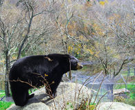 Black Bear on Rock Royalty Free Stock Images