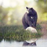 Black Bear near water. Black Bear on a rock near water royalty free stock photo