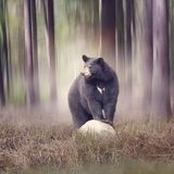 Black bear in the woods. Black bear on a rock  in the woods Royalty Free Stock Photos