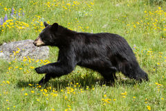 Black bear running through field of green grass and yellow wildf. A young black bear runs through a field of green grass with many yellow and purple wildflowers royalty free stock photo