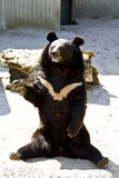 Black bear, salutes Stock Images