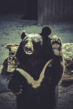 Black bear, salutes, zoo scene Royalty Free Stock Photo