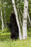 Black Bear Scratching his Back on a Birch Tree Stock Photos