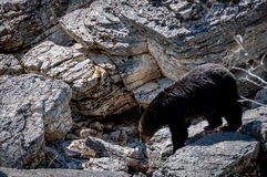 Black Bear. Searching for food this black bear crossed a rocky stretch Stock Photo