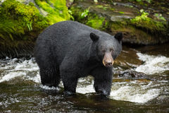Black Bear. Searching for salmon, Alaska Royalty Free Stock Photo
