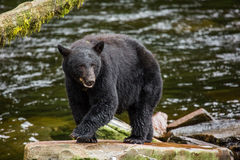 Black Bear. Searching for salmon, Alaska Stock Photo