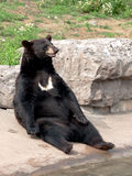Black bear seating Royalty Free Stock Photo